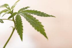 大麻は本来、医療、食料、工業製品となる優れた農作物であった
