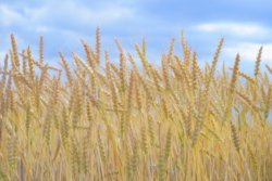 国内で販売される小麦製品の約7割から「グリホサート」検出